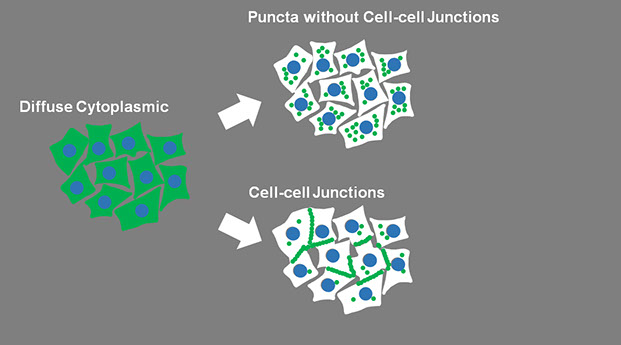 cellcelljunctions