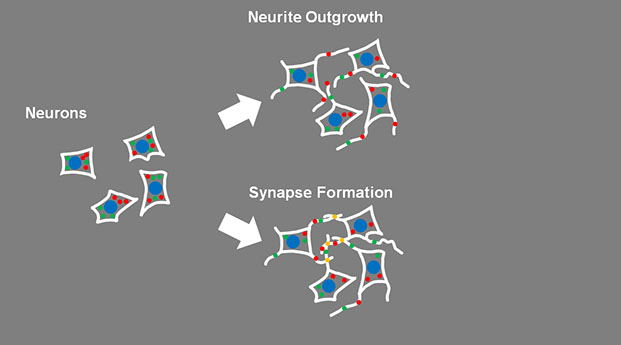 synapseformation